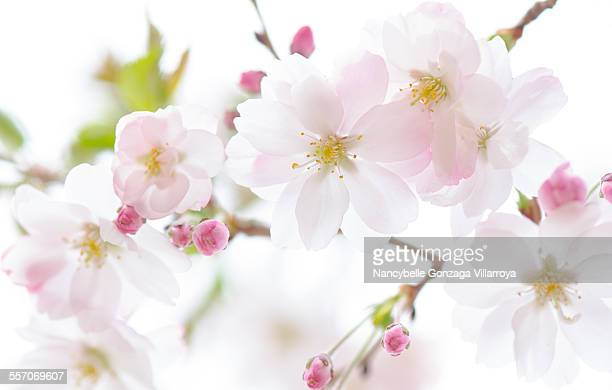 cherry blossom - nancybelle villarroya stock photos and pictures