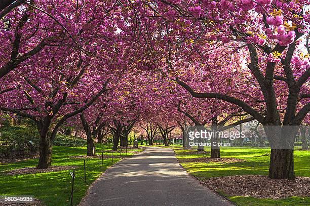 cherry blossom - bocciolo foto e immagini stock