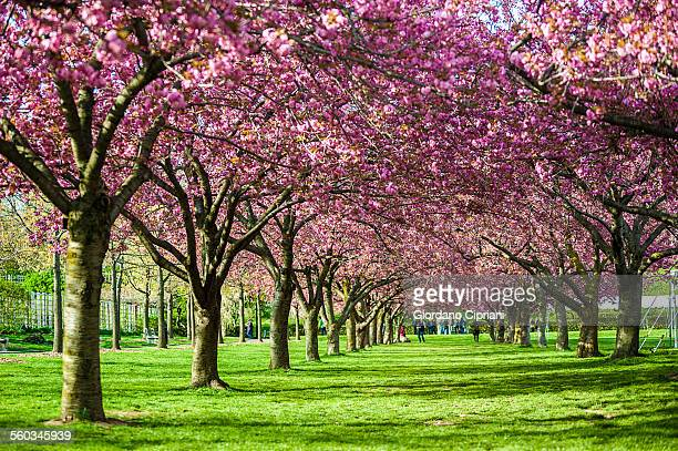 cherry blossom - botanical garden stock pictures, royalty-free photos & images