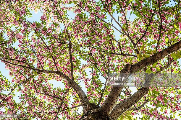 cherry blossom - cipriani manhattan stock pictures, royalty-free photos & images