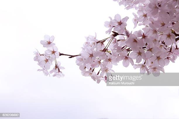 cherry blossom - cherry tree stock photos and pictures
