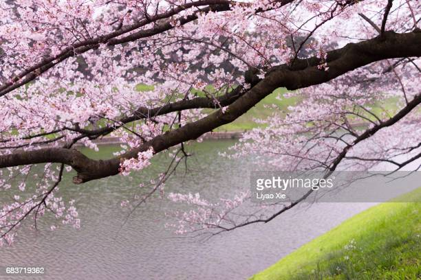 cherry blossom - liyao xie stock pictures, royalty-free photos & images