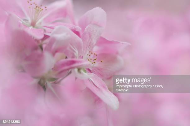 cherry blossom - cherry gillespie stock-fotos und bilder