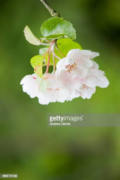 cherry blossom - andrew dernie foto e immagini stock