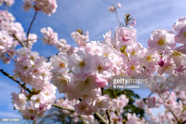 cherry blossom - peter lourenco stock pictures, royalty-free photos & images