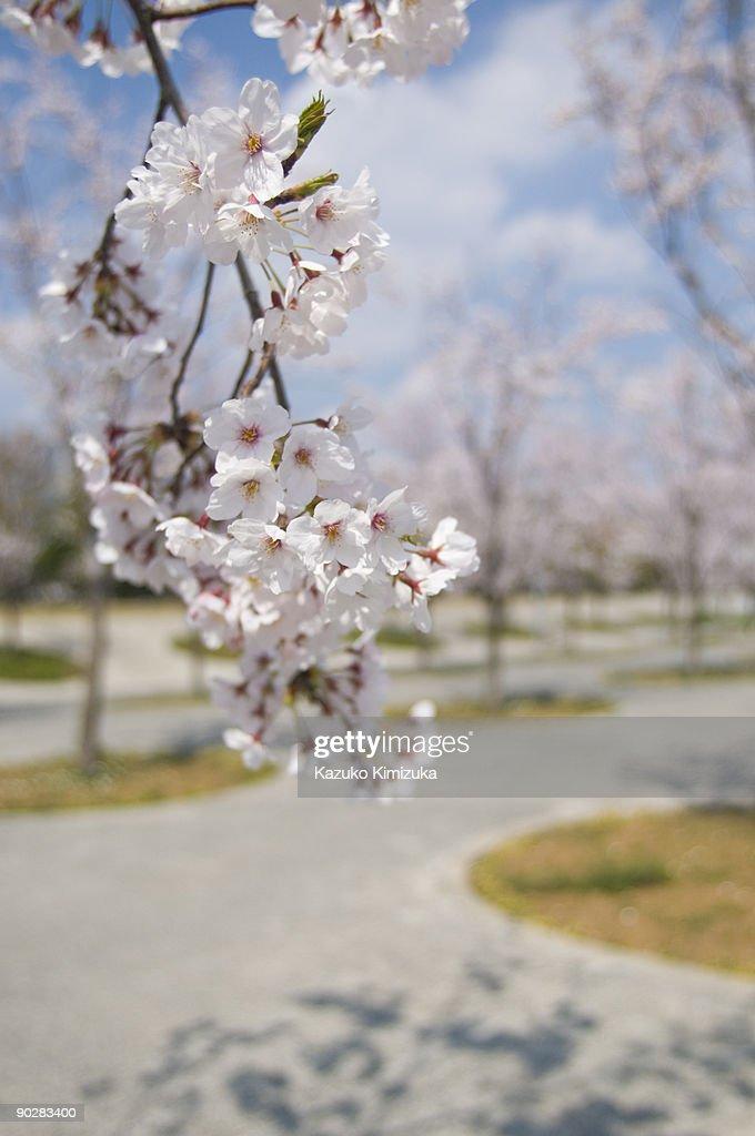 Cherry Blossom : ストックフォト