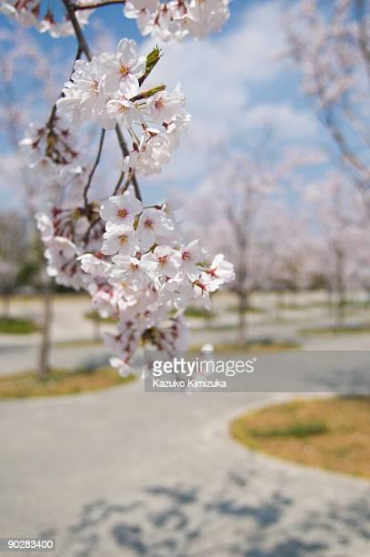 cherry blossom - kazuko kimizuka fotografías e imágenes de stock