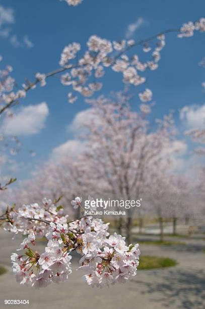 cherry blossom - kazuko kimizuka stockfoto's en -beelden