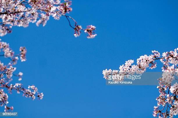 cherry blossom - kazuko kimizuka stock pictures, royalty-free photos & images