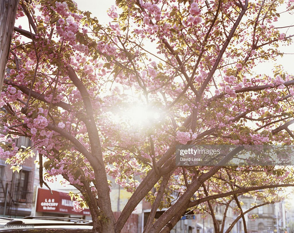 Cherry blossom : Stockfoto