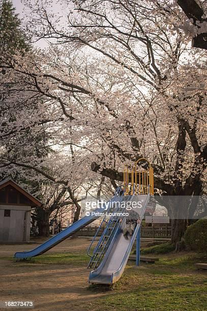 cherry blossom playtime - peter lourenco photos et images de collection