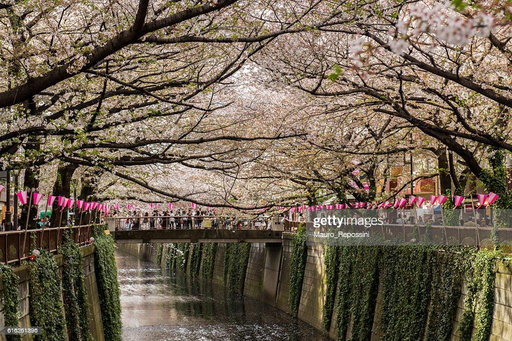 Cherry Blossom season at Nakameguro, Tokyo, Japan : Stock Photo