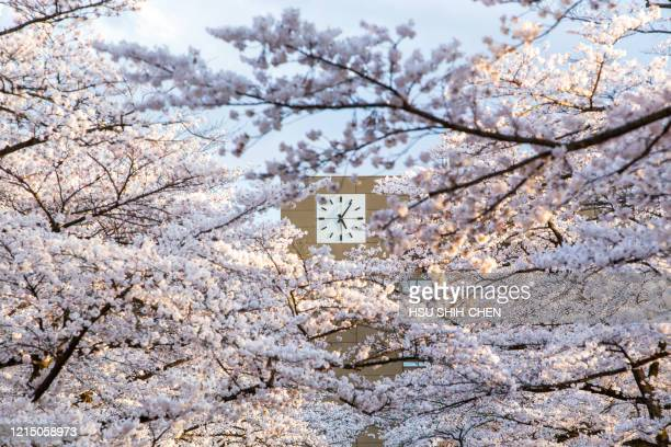 cherry blossom season with the clock - daylight saving time stock pictures, royalty-free photos & images