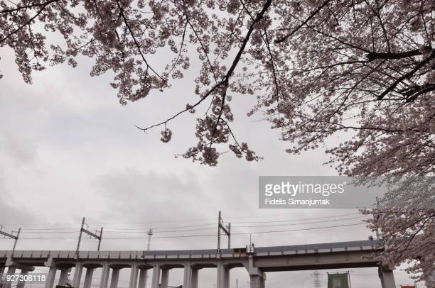 Cherry blossom (Sakura) shot with elevated train in the background