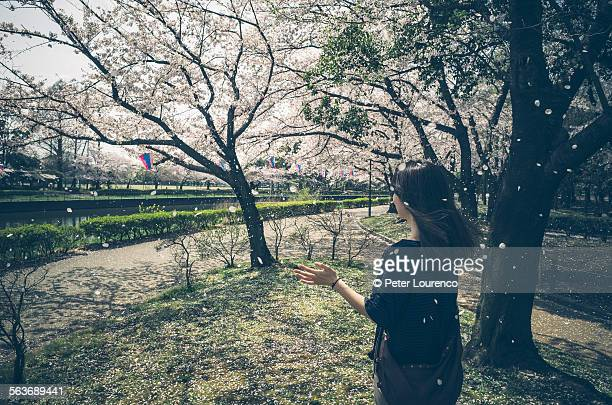 cherry blossom shower - peter lourenco stock pictures, royalty-free photos & images