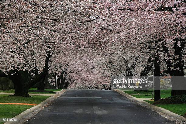 cherry blossom street - chevy chase maryland stock pictures, royalty-free photos & images
