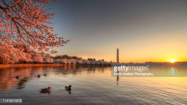 cherry blossom sunrise with ducks - martin luther king jr. memorial washington dc stock pictures, royalty-free photos & images