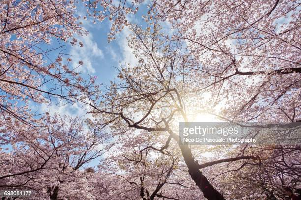 cherry blossom time at ueno - hanami stock pictures, royalty-free photos & images