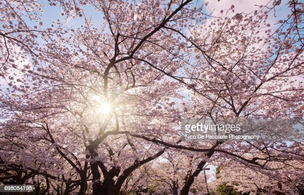 cherry blossom time at ueno - ueno park stock photos and pictures