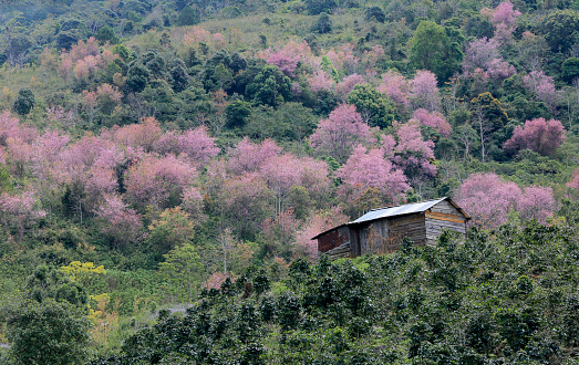 Cherry blossom tree and life in the hamlet at spring time - gettyimageskorea