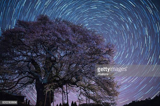 桜の花ツリー夜に