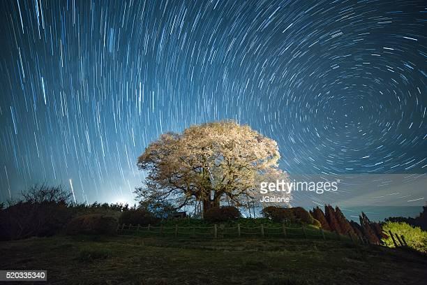 桜の花ツリー夜にの下、north つ星