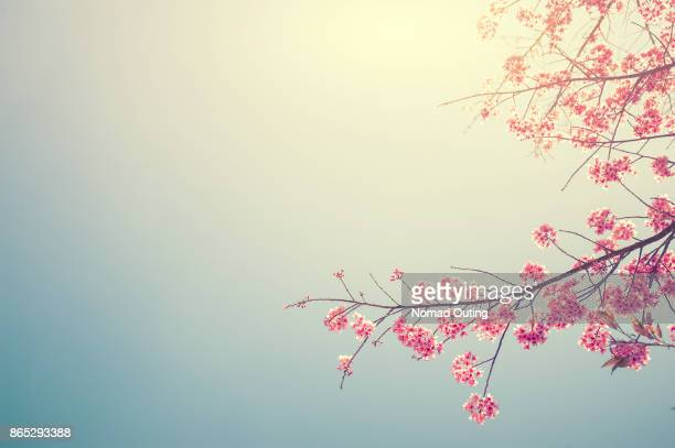cherry blossom tree branch - bloesem stockfoto's en -beelden