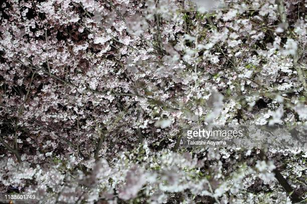 A cherry blossom tree is seen along the Meguro River on March 27 2019 in Tokyo Japan The blossom is deeply symbolic in Japan it only lasts for around...