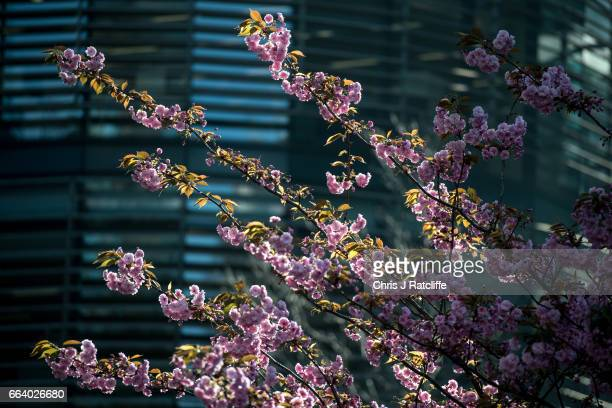 A cherry blossom tree is seen amongst office buildings during morning rush hour near the Royal Courts of Justice on April 3 2017 in London England...