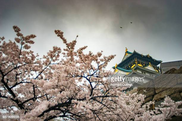 Cherry Blossom tree or Sakura in Osaka,Japan.