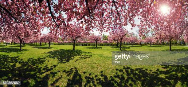 Cherry blossom tree panorama - public Park in Berlin (Germany)