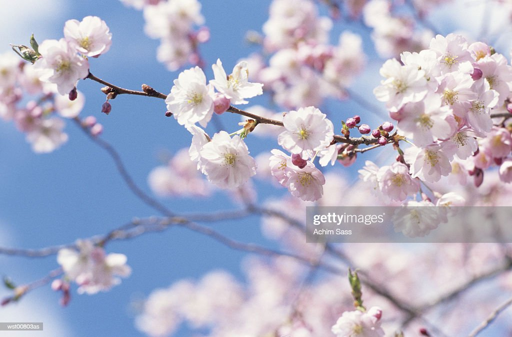 Cherry blossom tree : Stock Photo