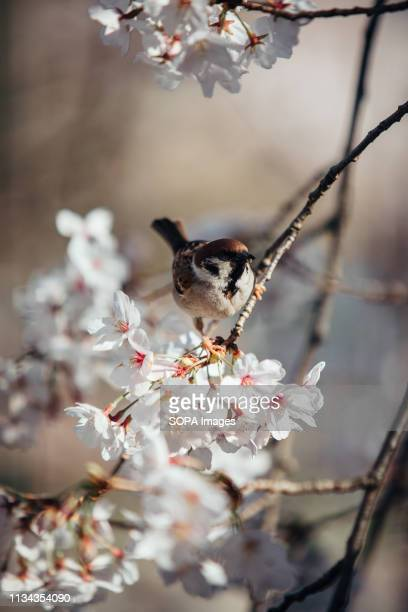Cherry blossom tree seen with a sparrow at yamazaki river nagoya Aichi prefecture Japan The Cherry blossom also known as Sakura in Japan normally...