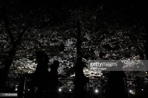 A cherry blossom tree street seen at yamazaki river nagoya Aichi prefecture Japan The Cherry blossom also known as Sakura in Japan normally peaks in...