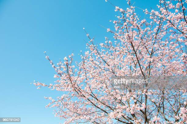 Cherry blossom tree under clear blue sky in spring