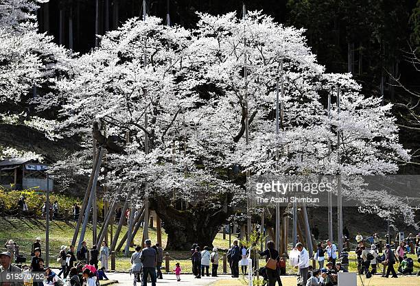 A cherry blossom tree which is called Usuzumi Zakura is in full bloom on April 4 2016 in Motosu Gifu Japan