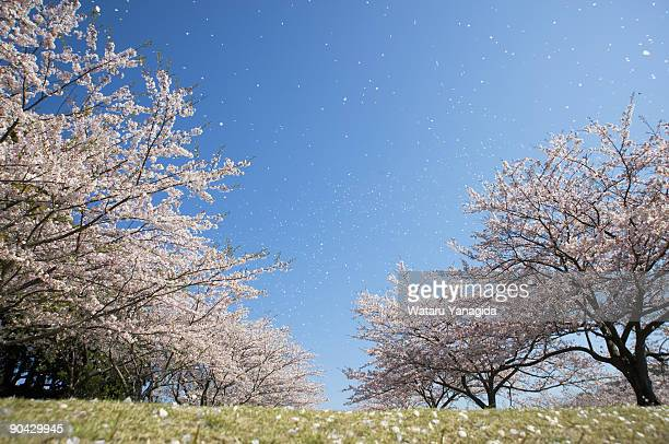 cherry blossom trees against blue sky - 桜 ストックフォトと画像