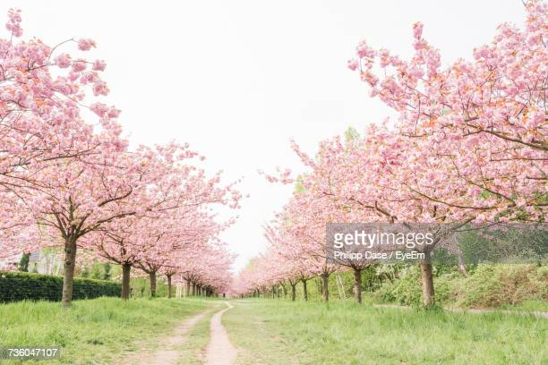 cherry blossom trees against clear sky - orchard stockfoto's en -beelden