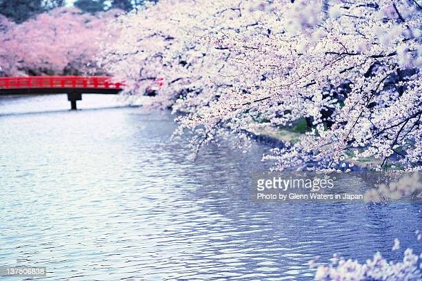 cherry blossom trees along river - hirosaki stock pictures, royalty-free photos & images