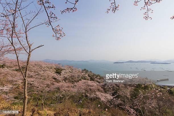 Cherry blossom trees and sea