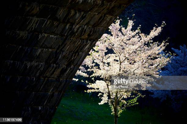 Cherry blossom trees are in full bloom at the Schuylkill river banks, in the Fairmount Park section of Philadelphia, PA on April 10, 2019. Each...