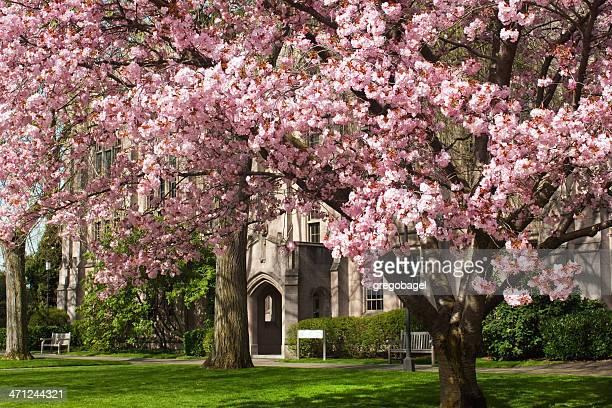 桜の木でワシントン大学 - ワシントン大学 ストックフォトと画像