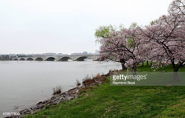 Cherry Blossom trees at West Potomac Park on April 10 2015 in Washington DC