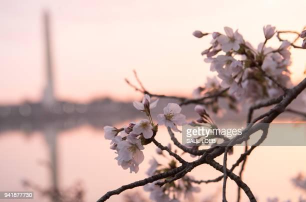 Cherry Blossom trees bloom around the Tidal Basin at sunrise in Washington DC April 4 2018 / AFP PHOTO / SAUL LOEB