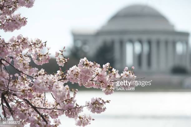 Cherry Blossom trees bloom near the Jefferson Memorial at the Tidal Basin in Washington DC April 4 2018 / AFP PHOTO / SAUL LOEB