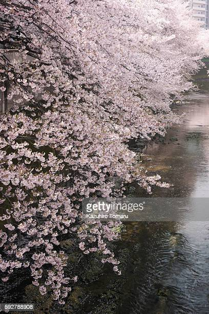 Cherry Blossom Trees by River