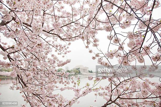 Cherry blossom trees frame the Jefferson Memorial along the tidal basin in Washington The pink and white cherry blossoms draw a million visitors each...