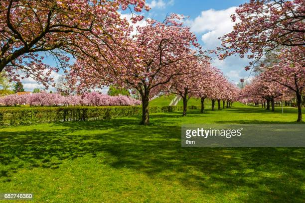 Cherry blossom trees in a public park in Berlin (Germany)