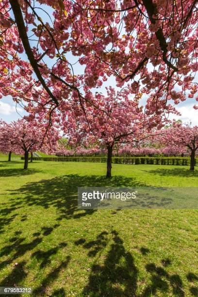 Cherry blossom trees in a public Park (Berlin, Germany)