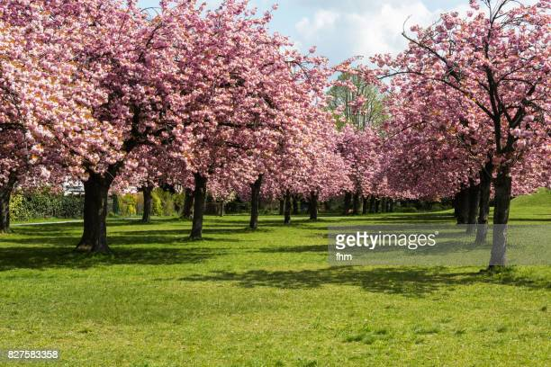 cherry blossom trees in a public park (berlin, germany) - hanami stock pictures, royalty-free photos & images